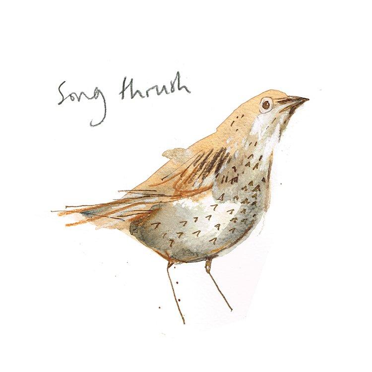 songthrush