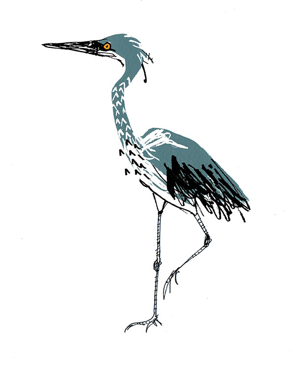white bellied heron