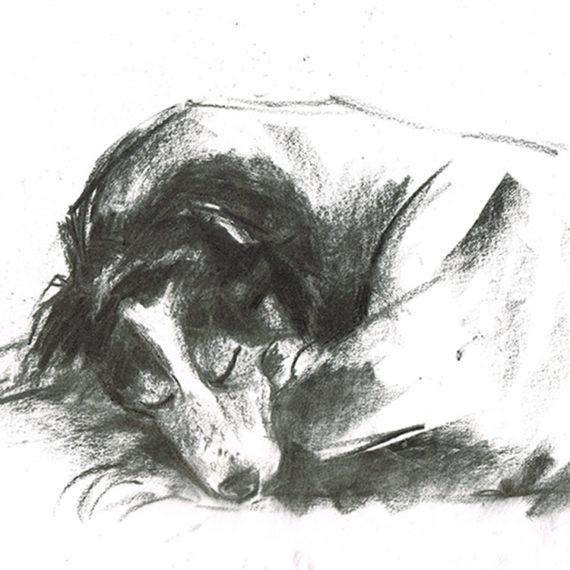 border collie sleeping dog portrait laura mckendry