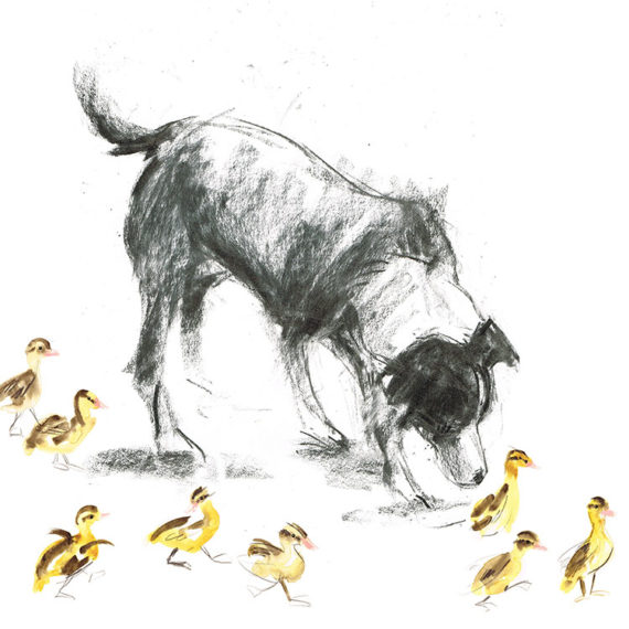 border collie with ducklings dog portrait laura mckendry