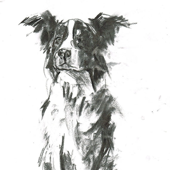 border collie dog portrait laura mckendry