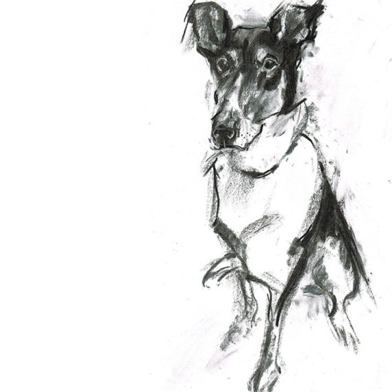 smooth collie dog portrait laura mckendry
