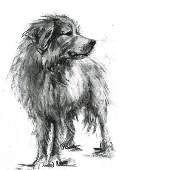 great pyranees dog illustration laura mckendry